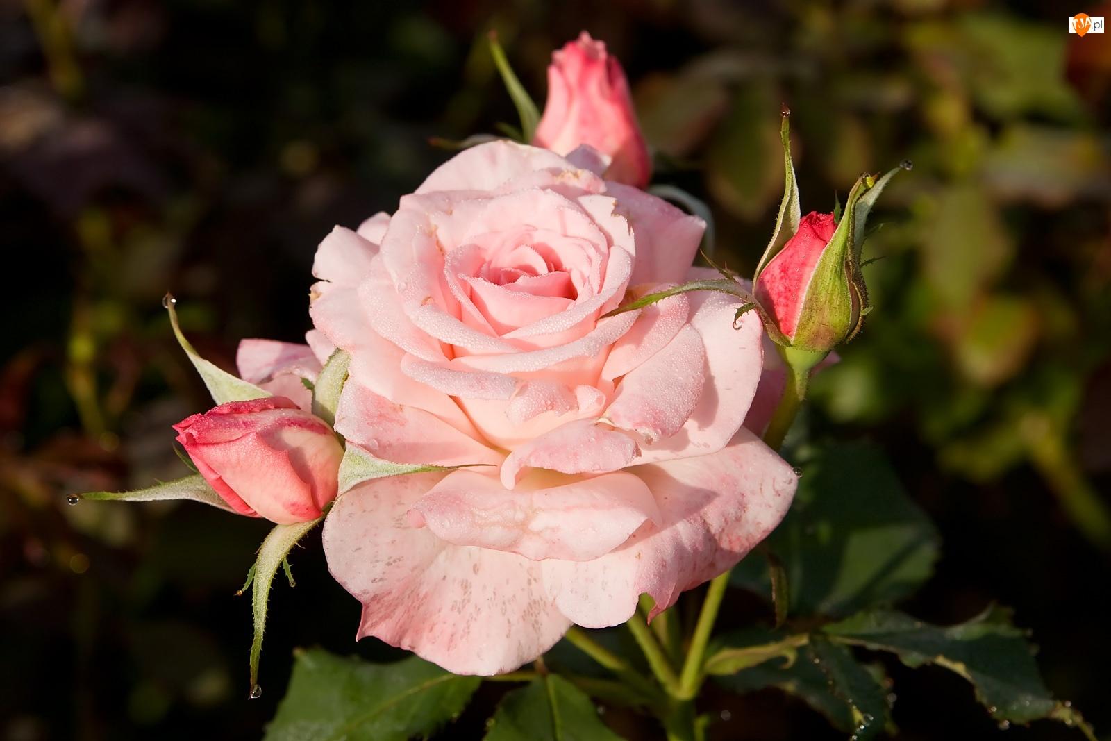 Pączki, Różowa, Róża
