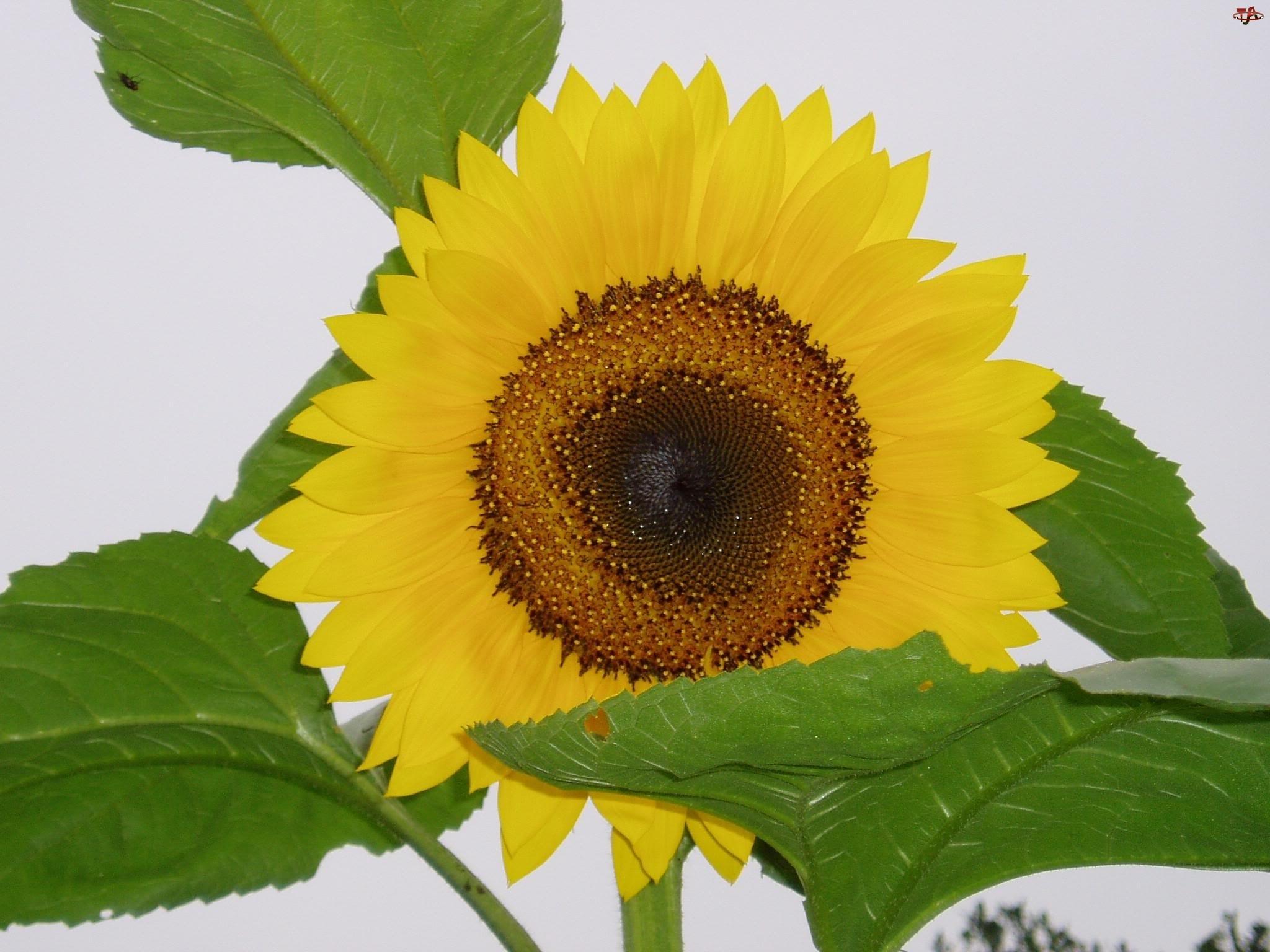 Słonecznik, Liście