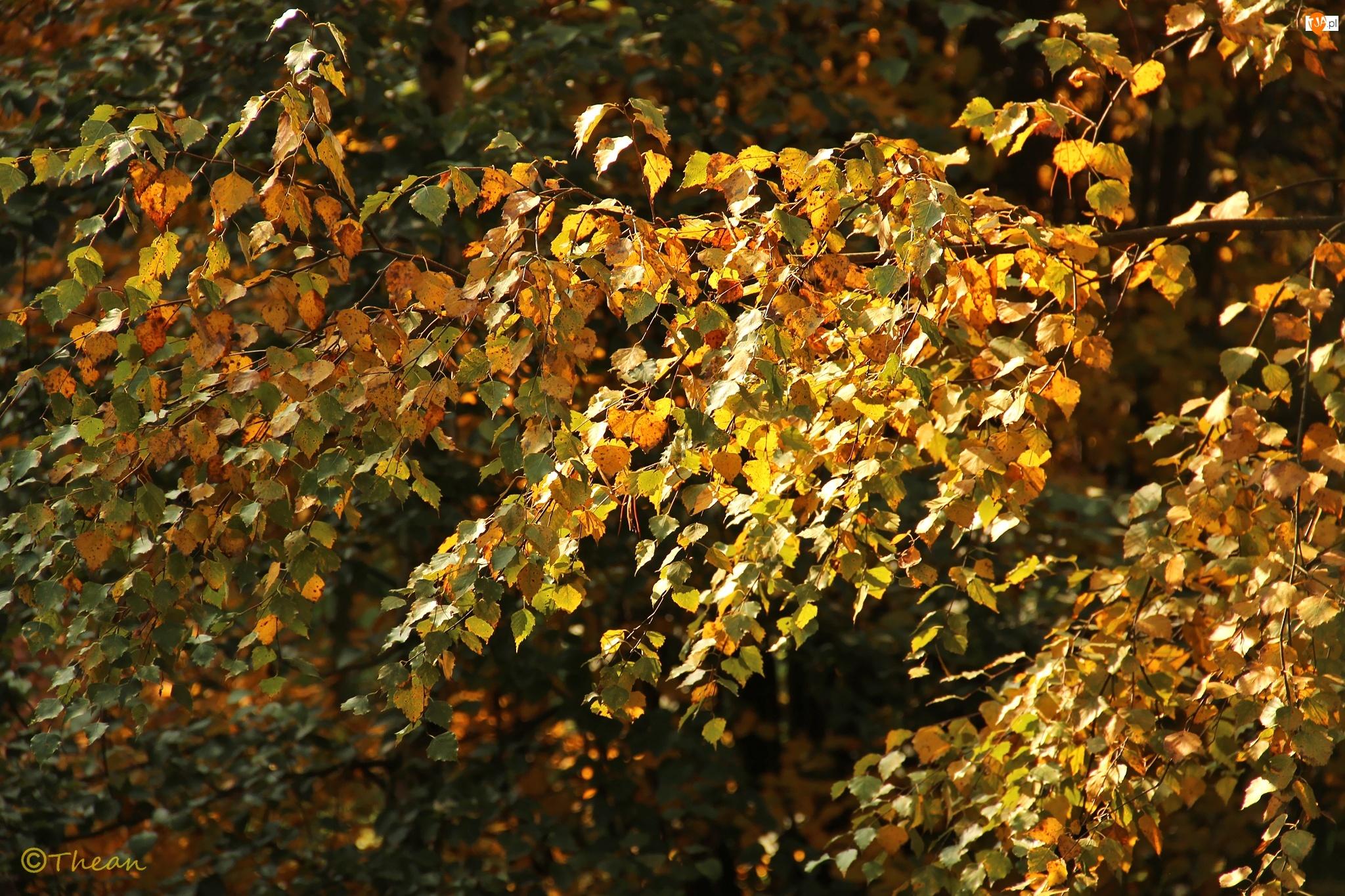 Jesień, Brzoza, Liście
