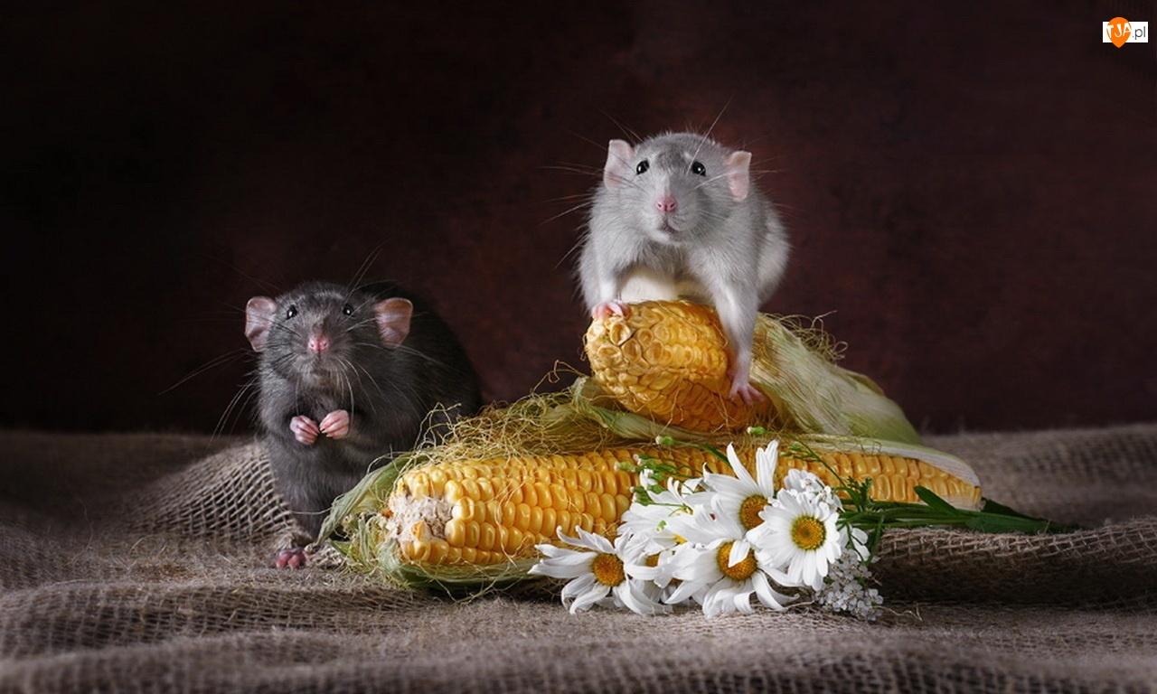 Myszki, Rumianek, Kolby, Kukurydzy