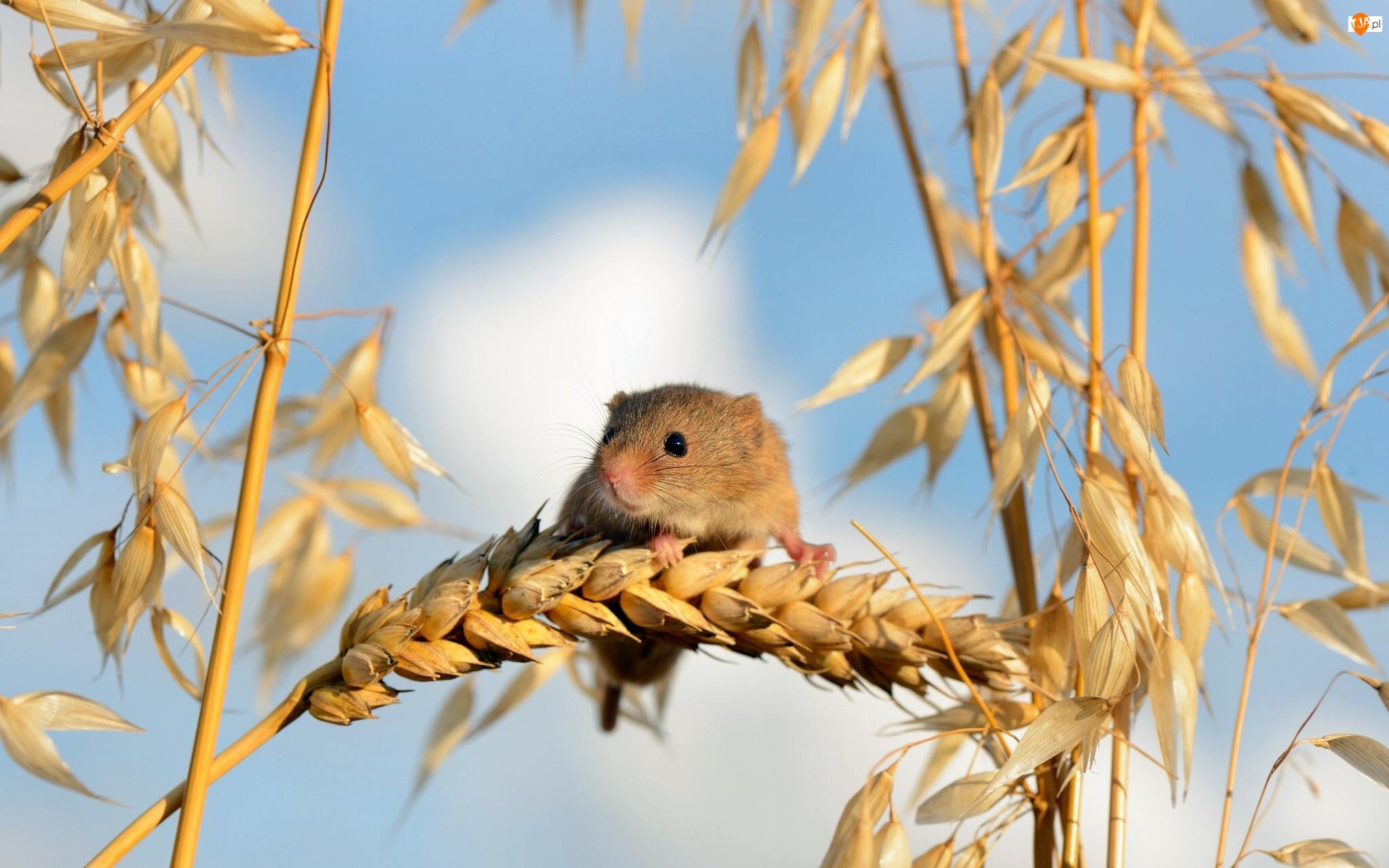 Zbóż, Myszka, Kłosy