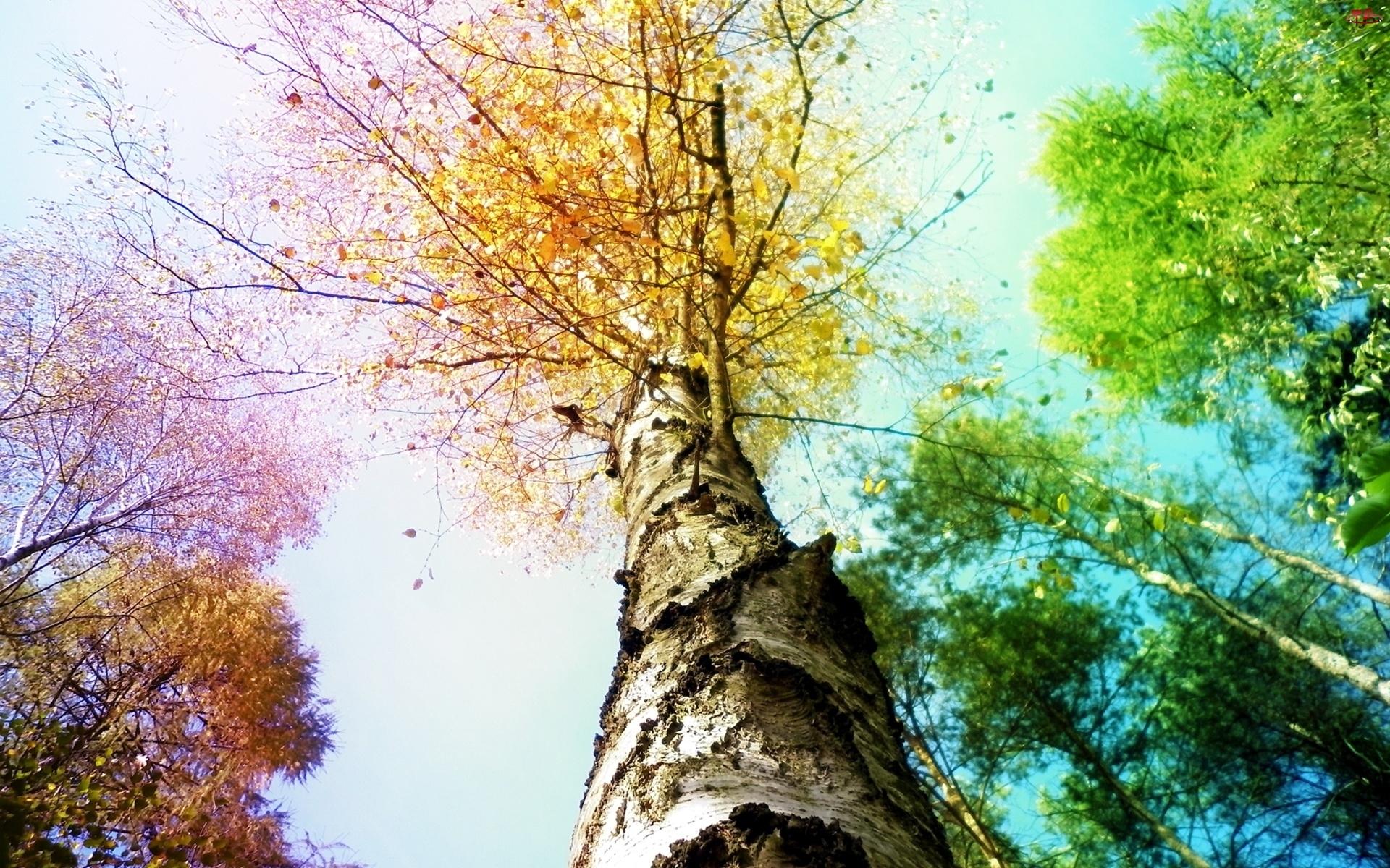 Drzewa, Brzoza, Kolory, Niebo
