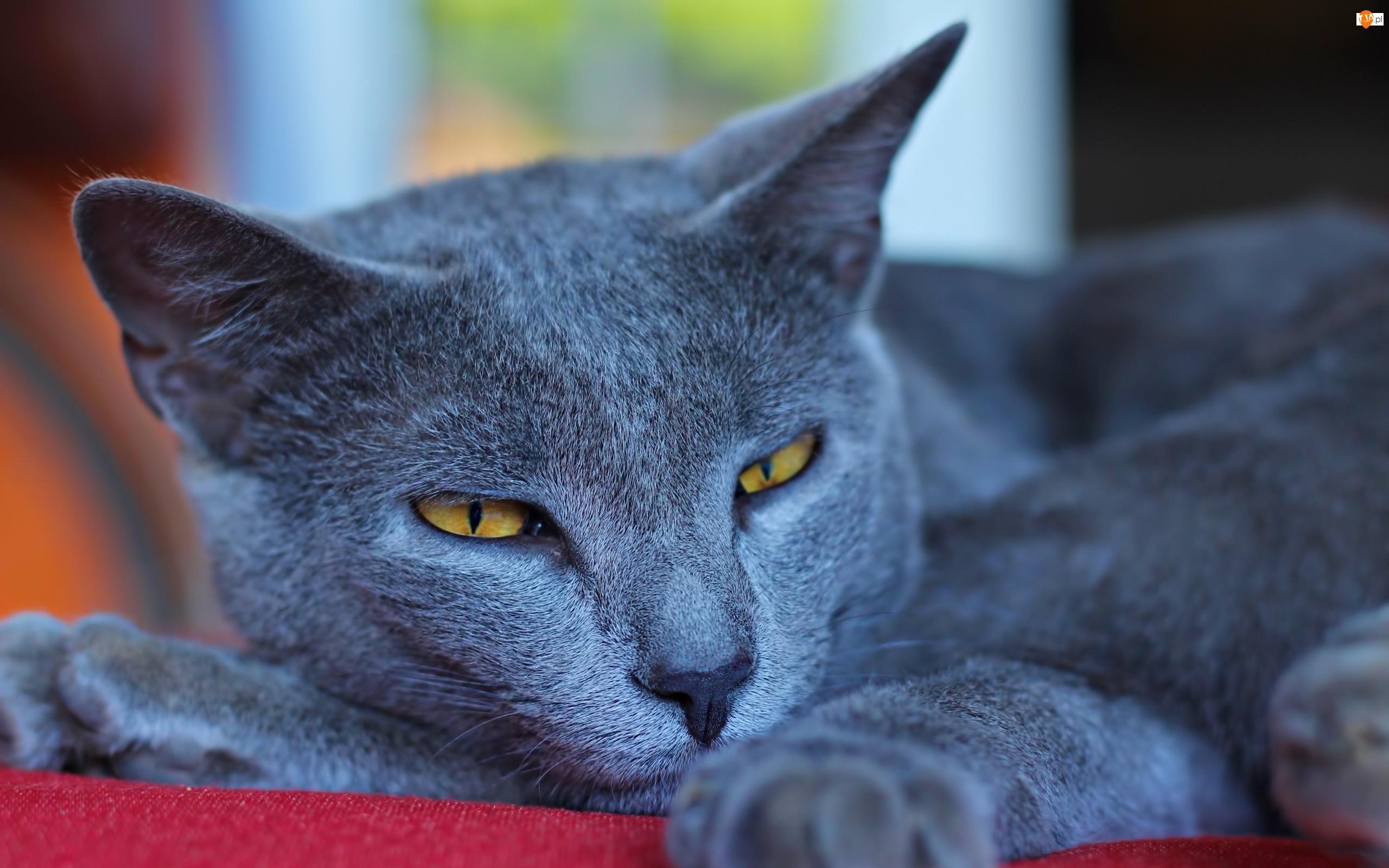 Niebieski Kot Angielski