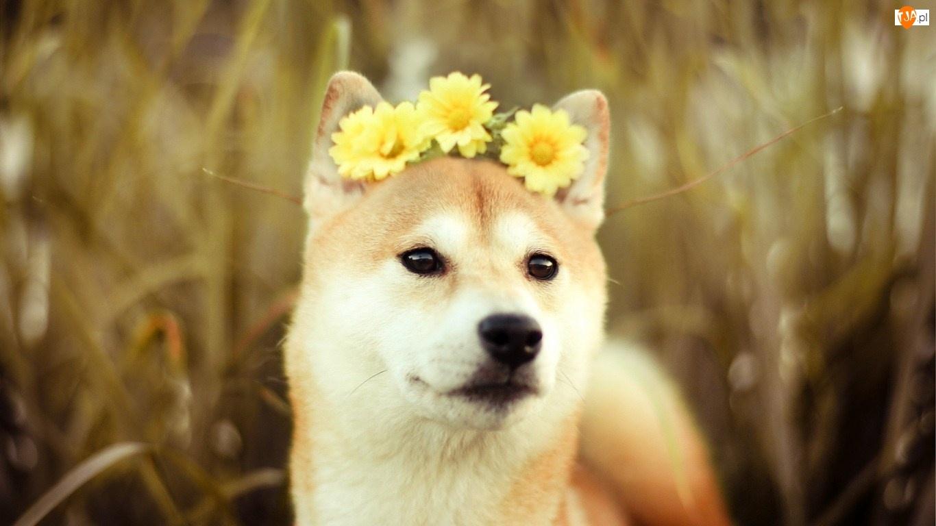 Gerbery, Pies, Inu, Akita, Żółte