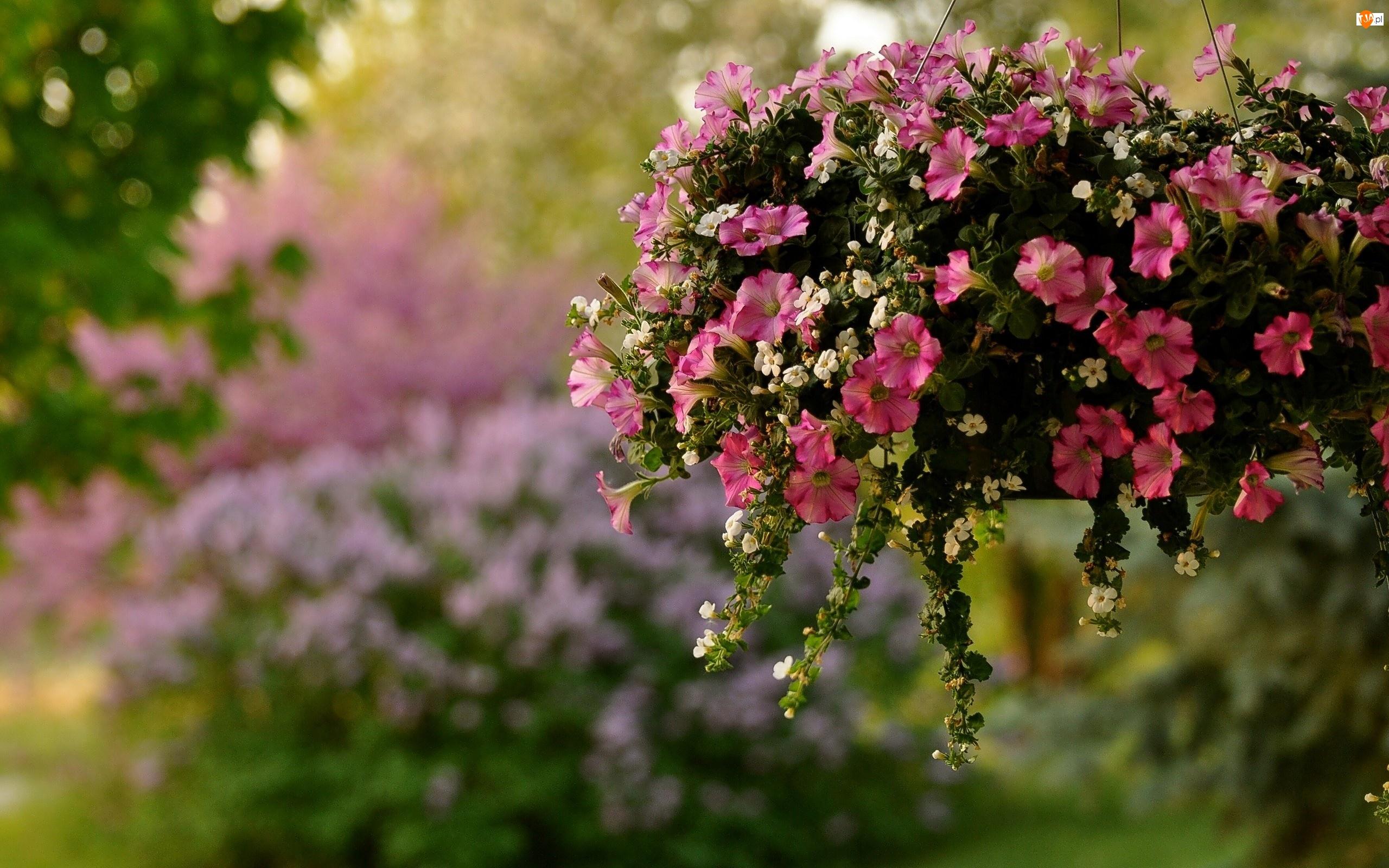 Kwiatki, Dekoracja, Surfinie, Mini, Białe