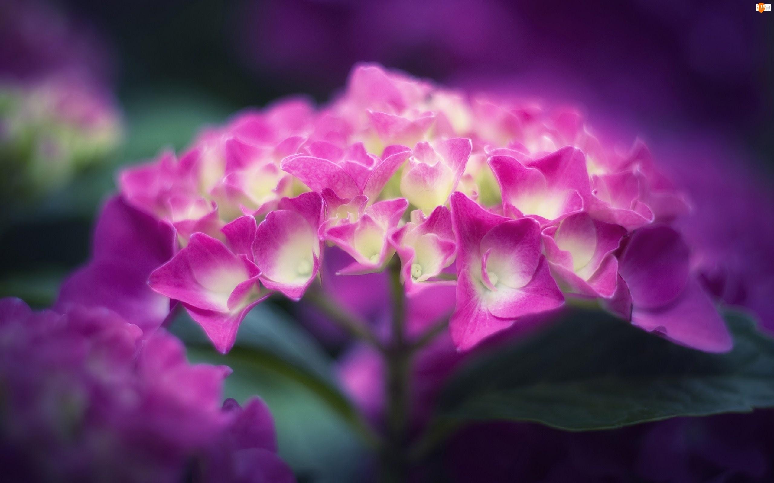 Różowy, Hortensja