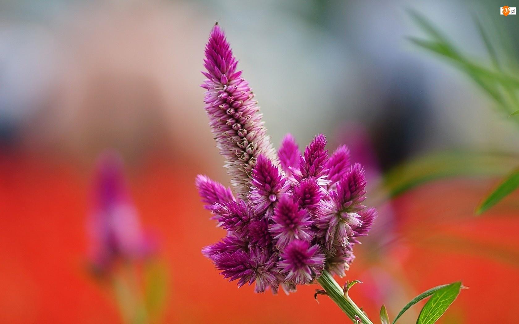 Roślinka, Celozja, Bordowy, Kwiat
