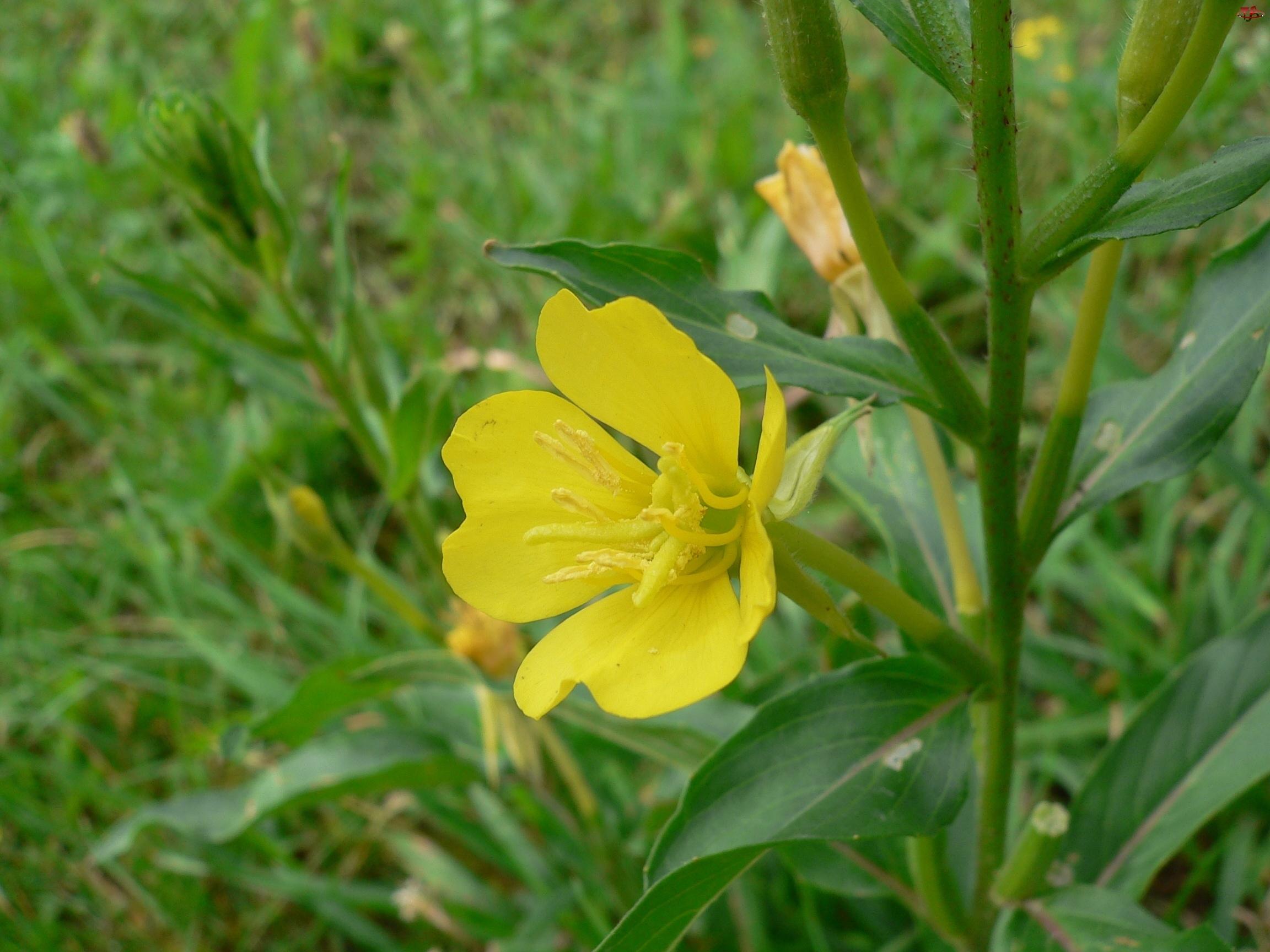Wiesiołek, Łodyga, Żółty, Liście, Kwiat
