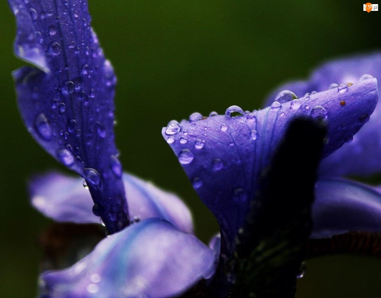 Krople, Fioletowy, Kwiat