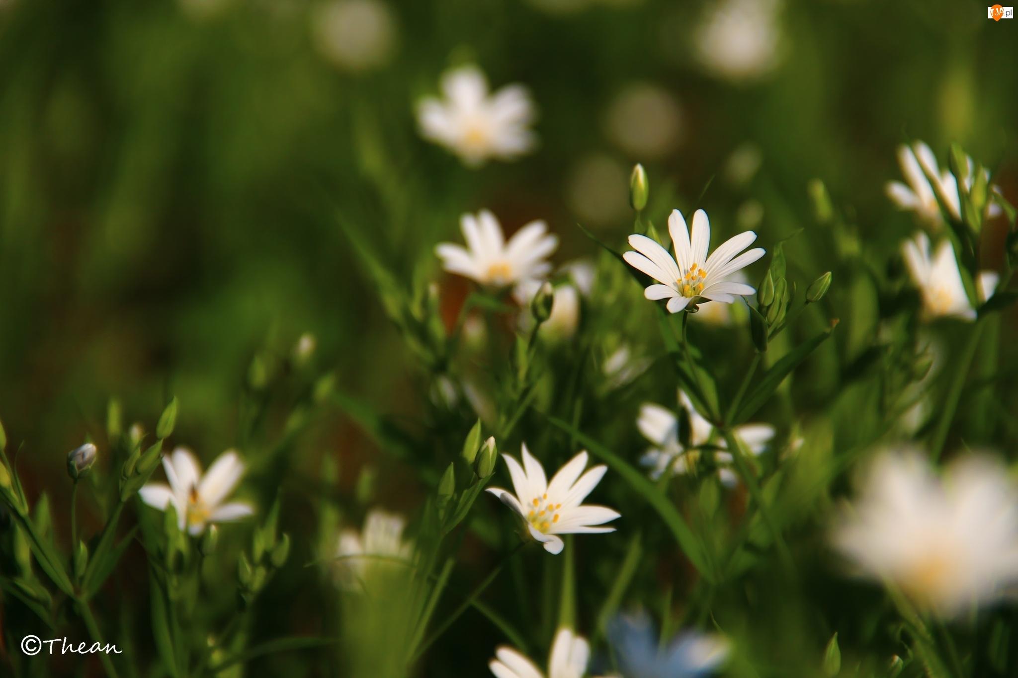 Kwiaty, Rogownica, Białe