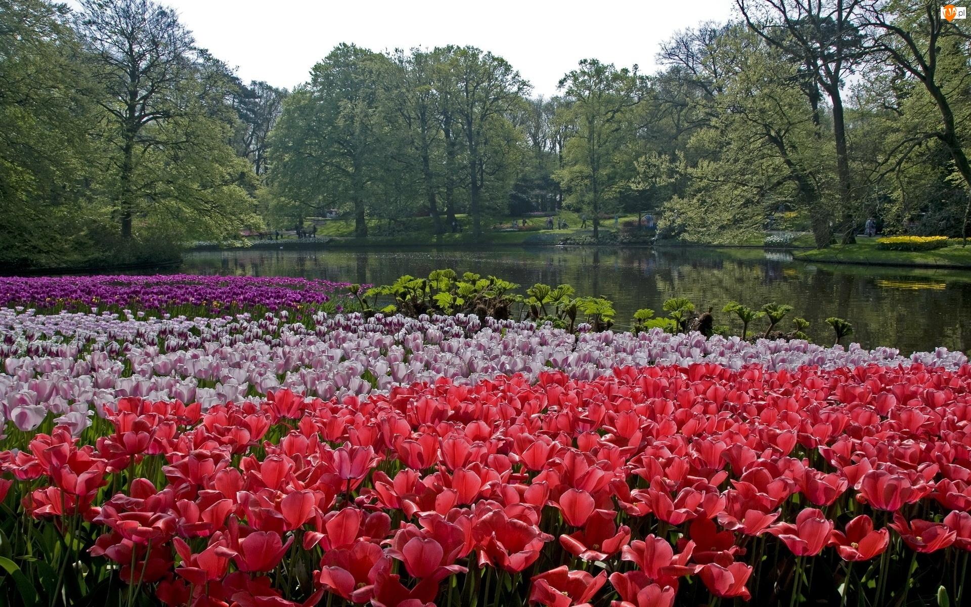 Park, Holandia, Rzeka, Tulipany