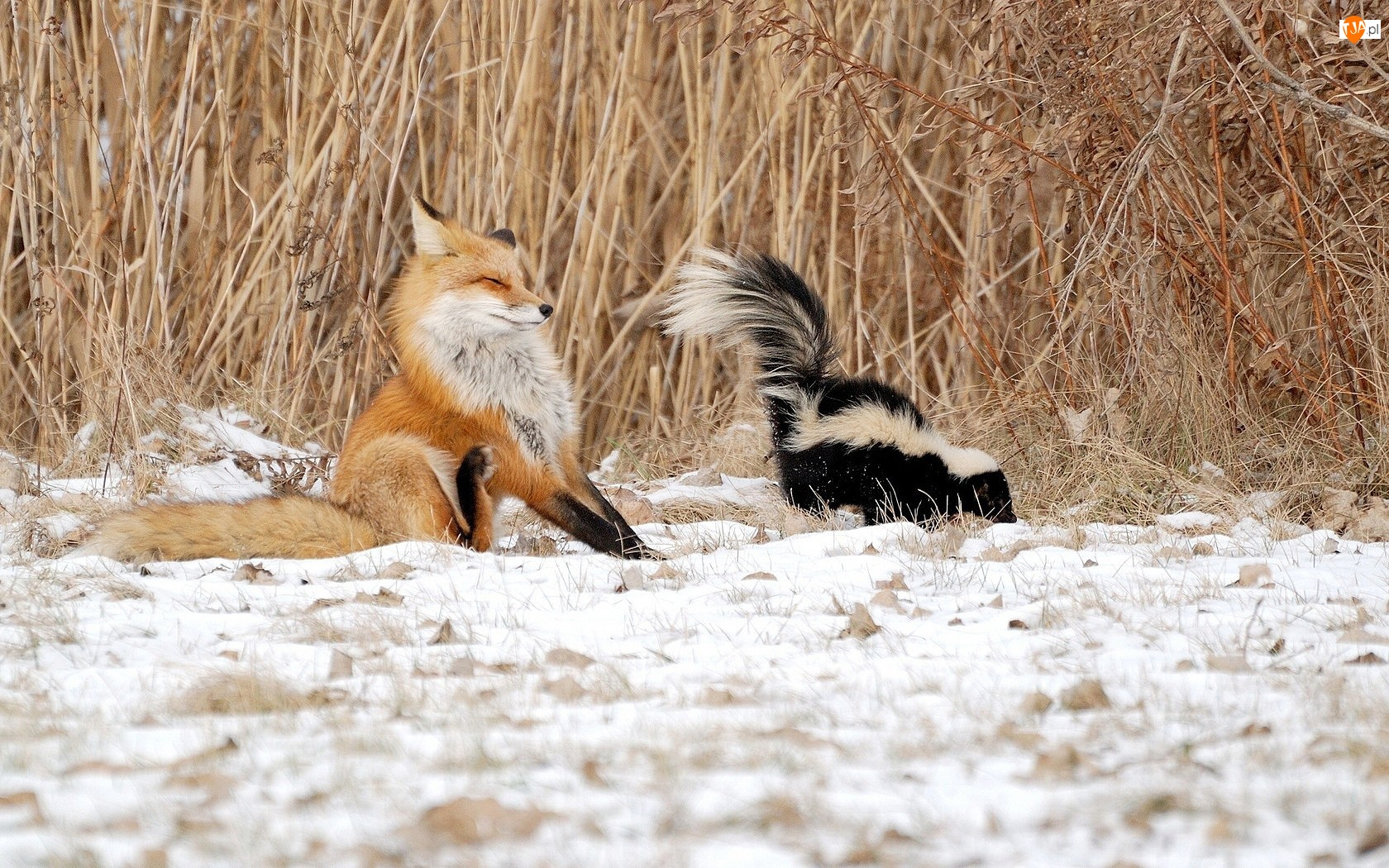 Lis, Skunks