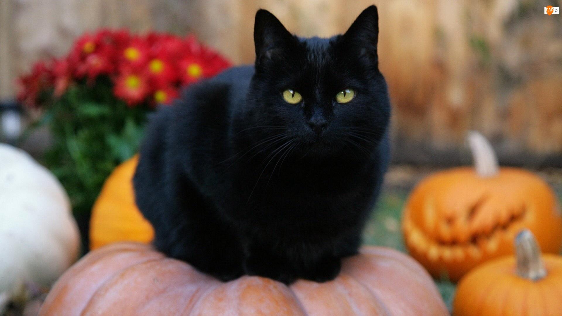 Czarny, Halloween, Kot, Dynie