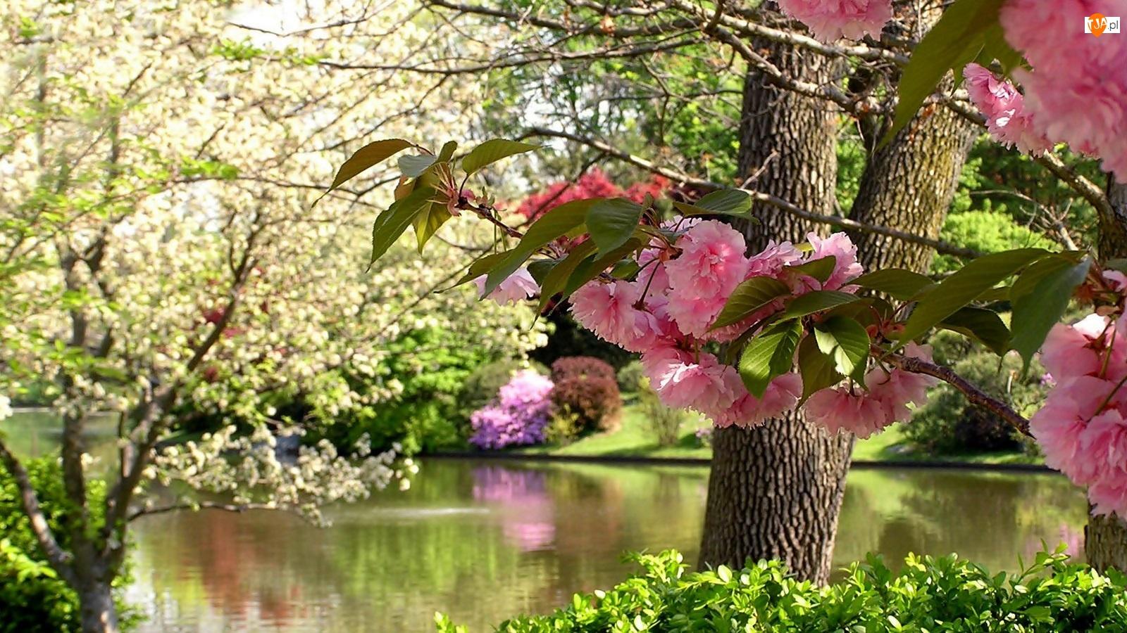 Rzeka, Rozmycie, Kwitnące, Drzewa
