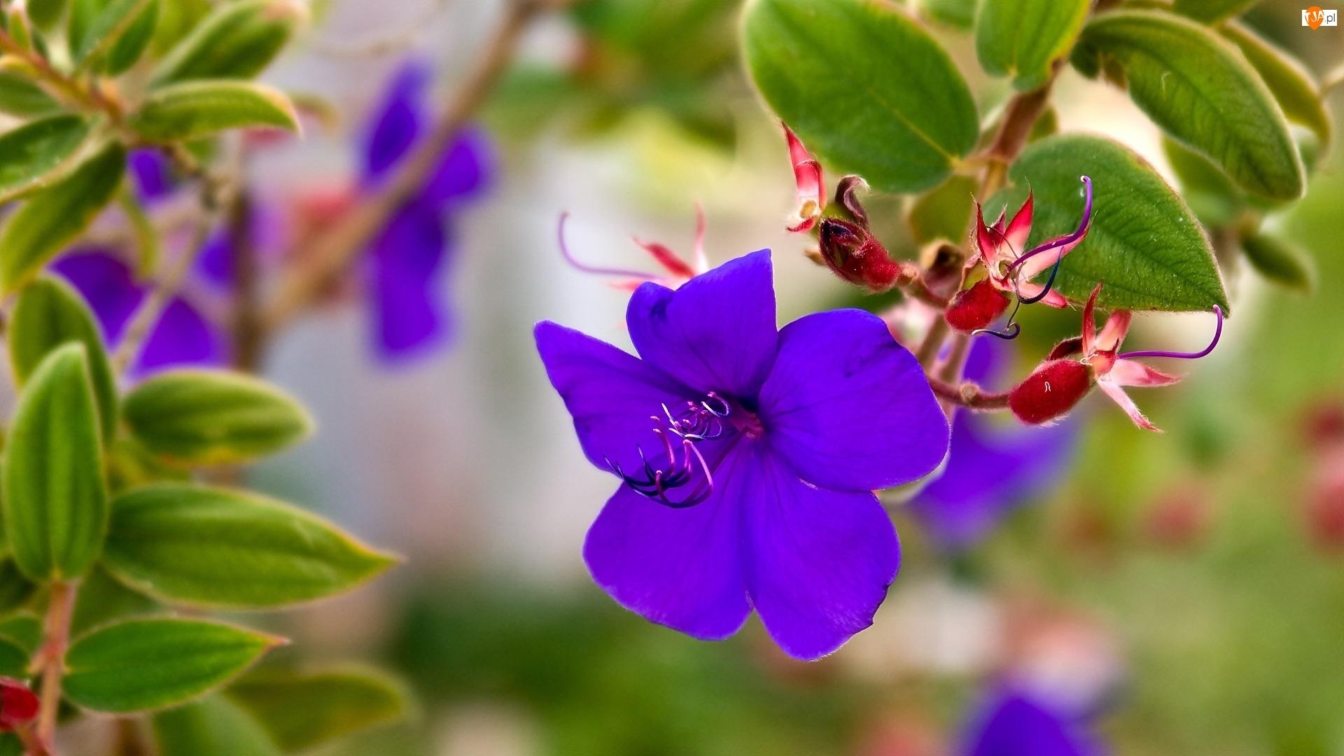 Makro, Fioletowy, Kwiat