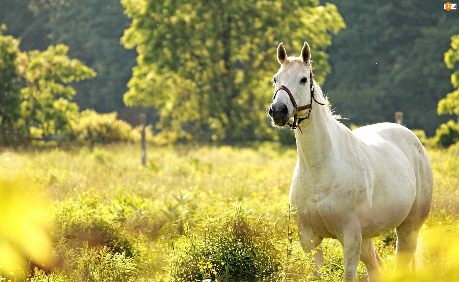 Koń, Kwiatki, Łąka, Żółte