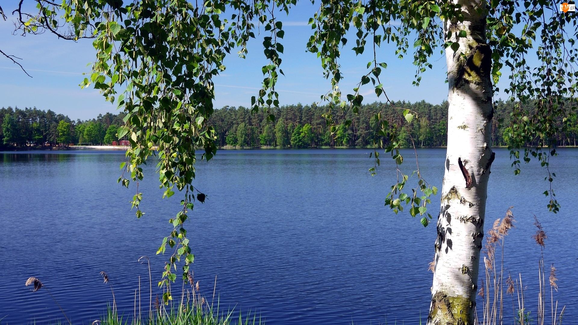 Jezioro, Brzoza, Las, Drzewo