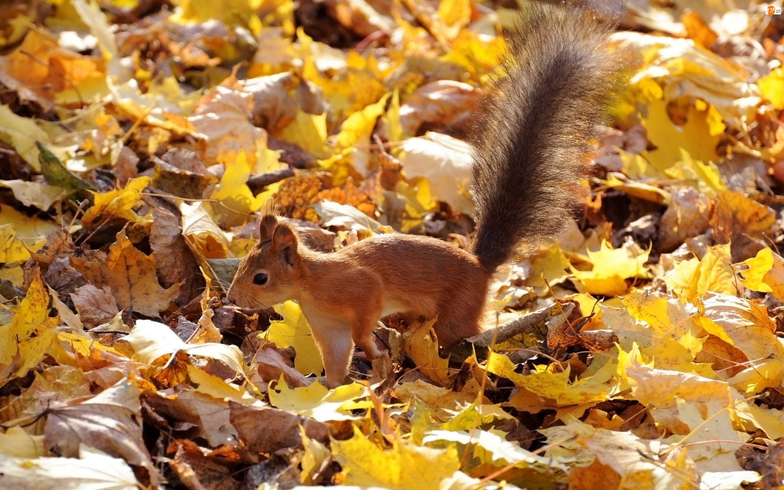 Wiewiórka, Liście, Las, Jesienne