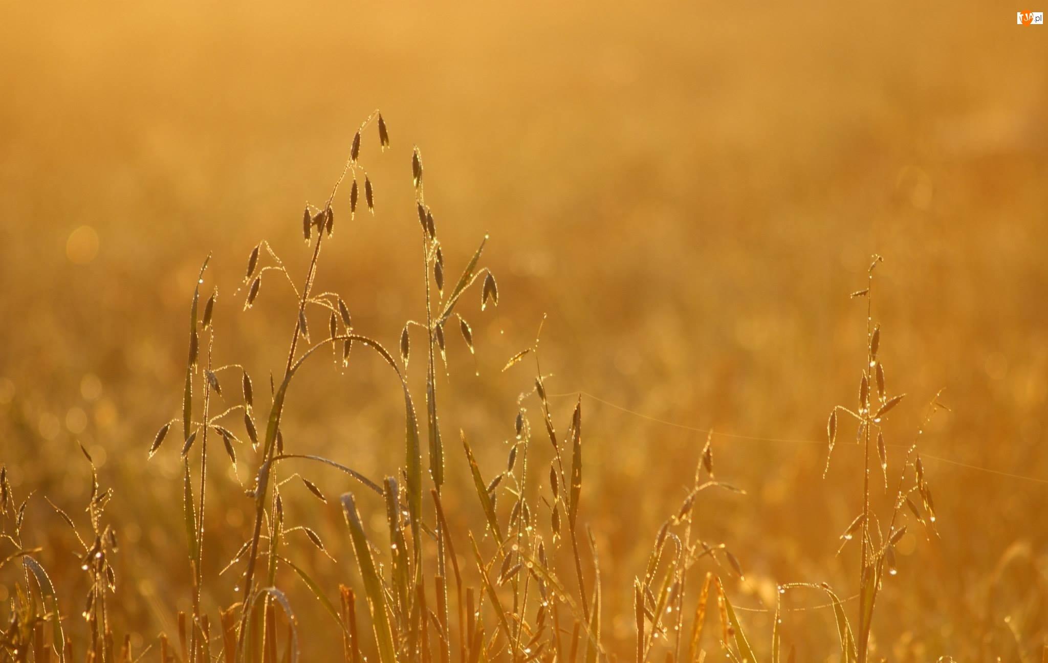 Kłosy, Zbóż