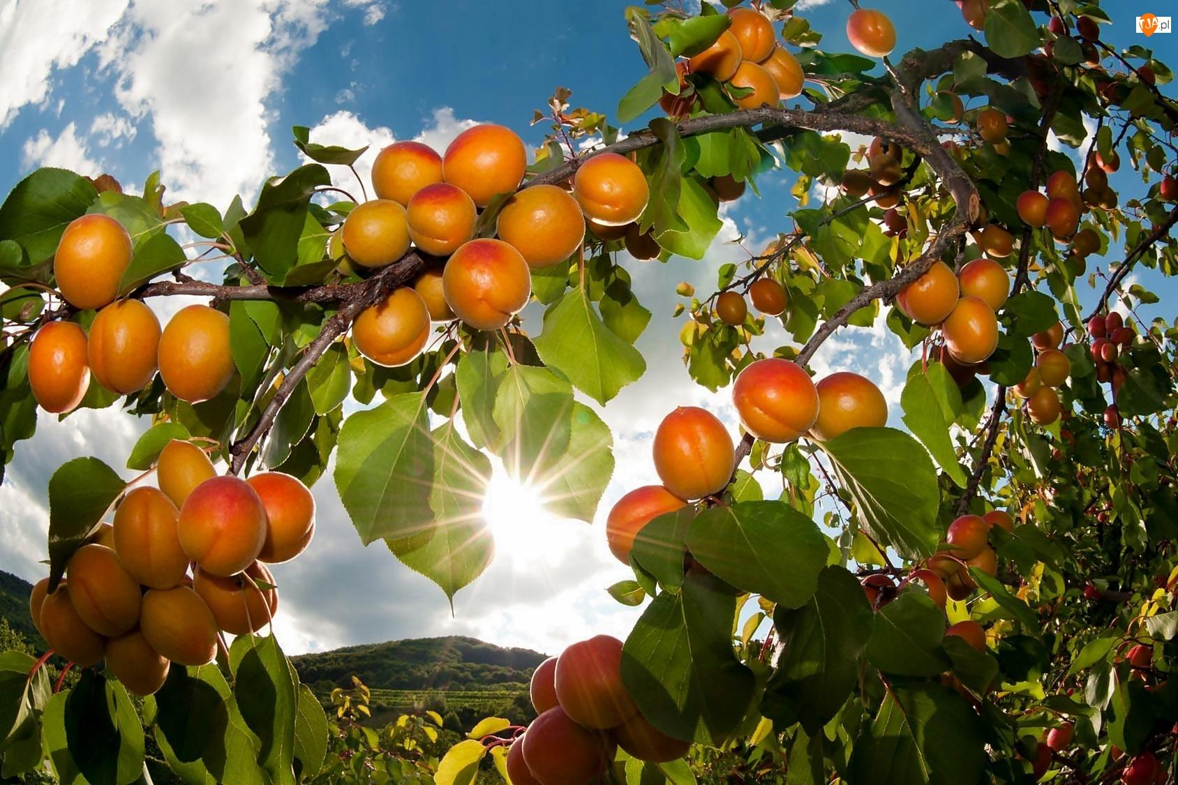 Słońca, Drzewko, Owoce, Morelowe, Promienie