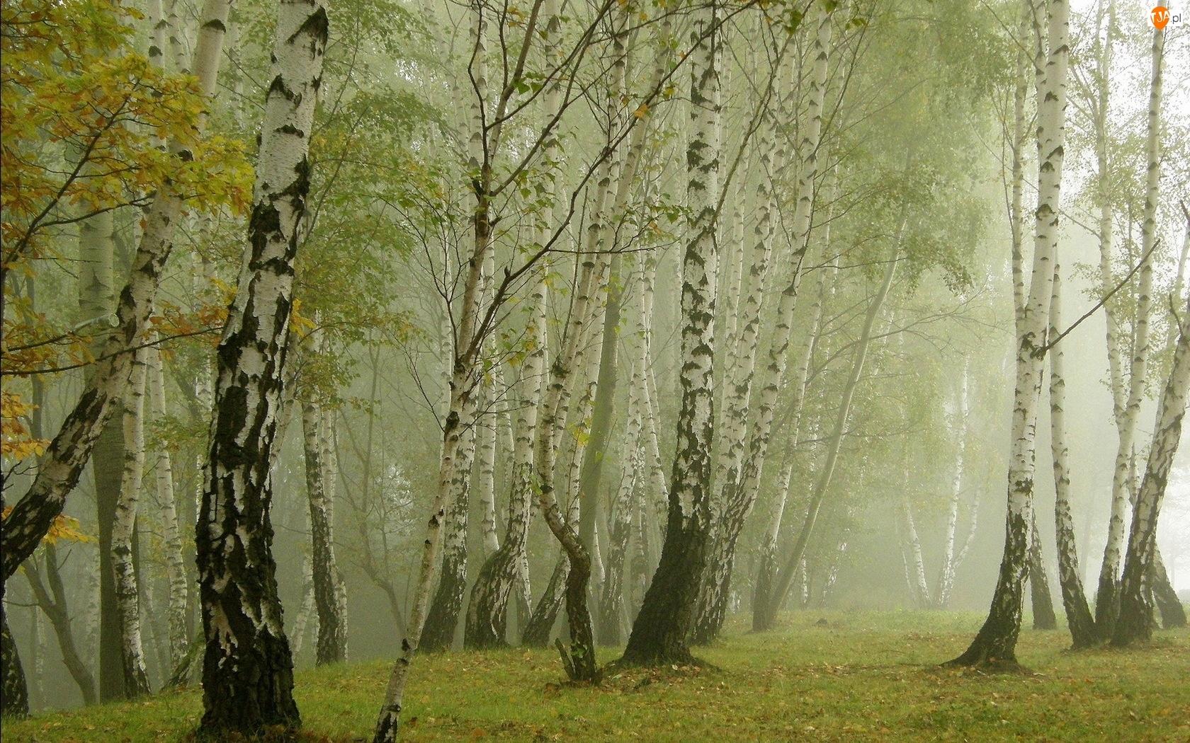 Jesień, Las, Mgła, Brzozowy, Liście