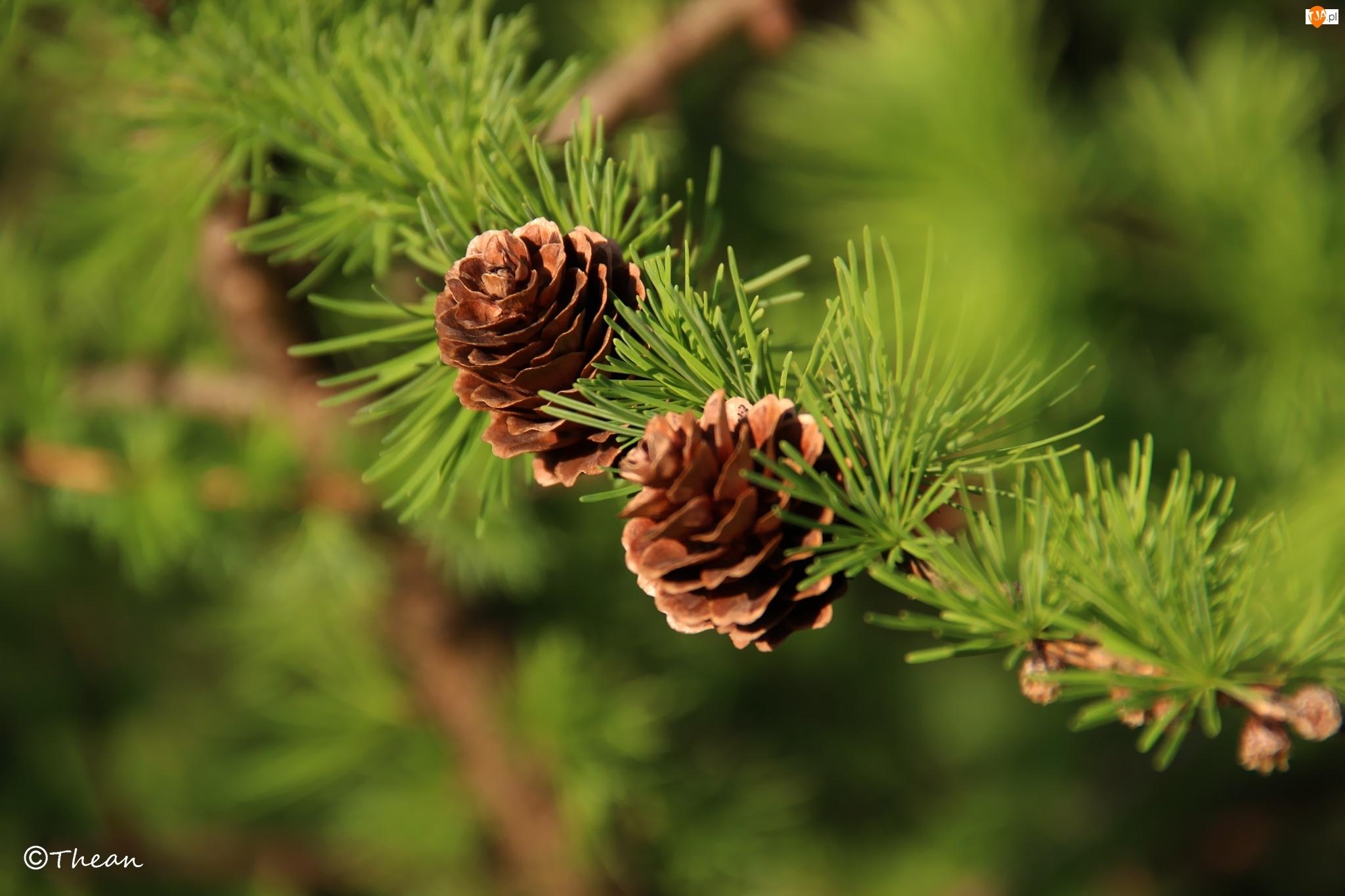 Drzewo, Modrzew, Szyszki