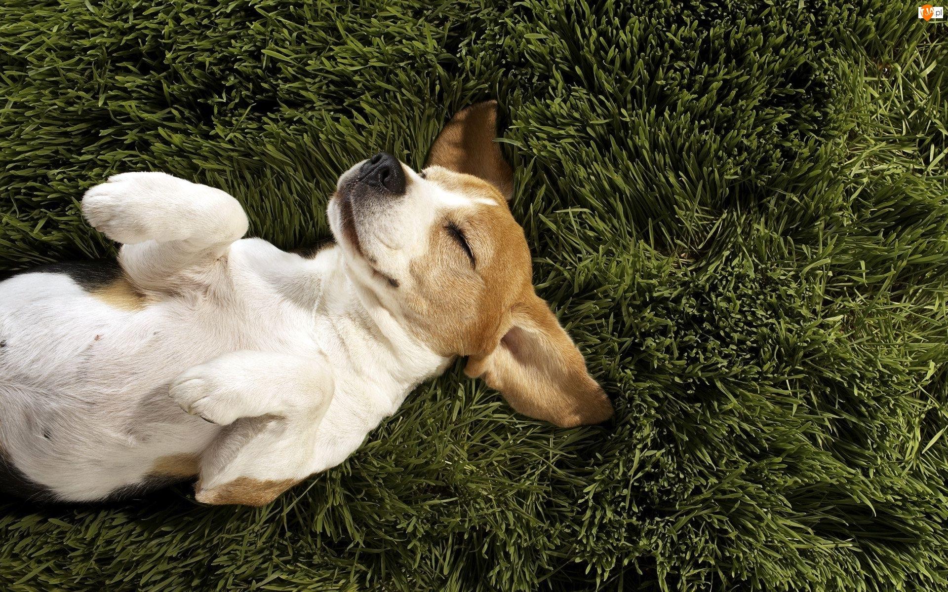 Pies, Trawa