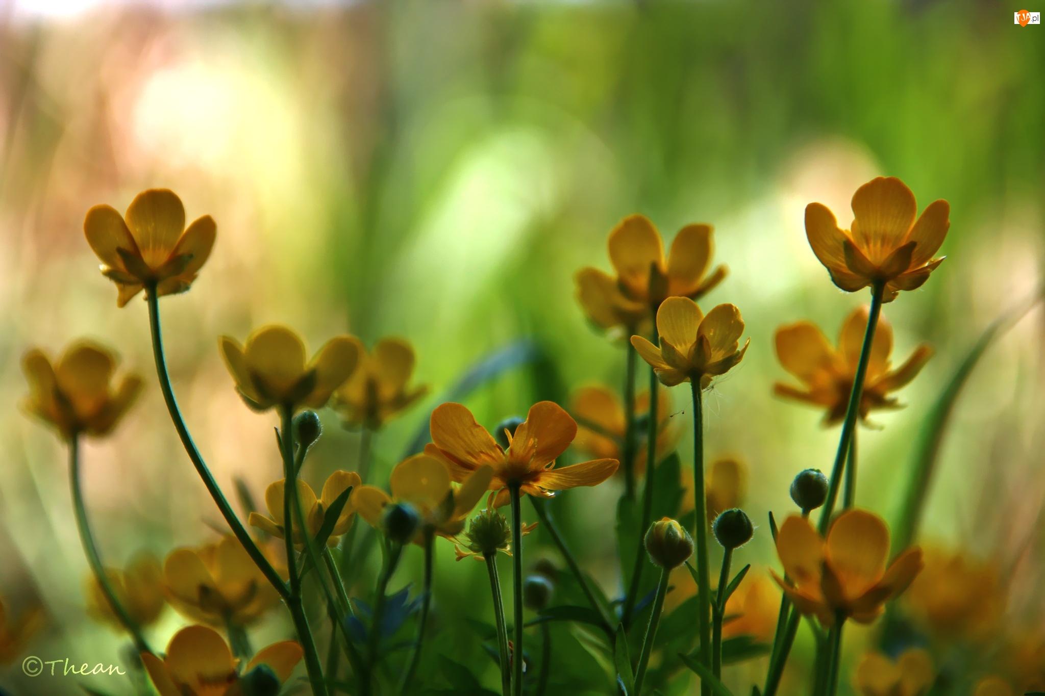 Kwiaty, Kaczeńce, Żółte