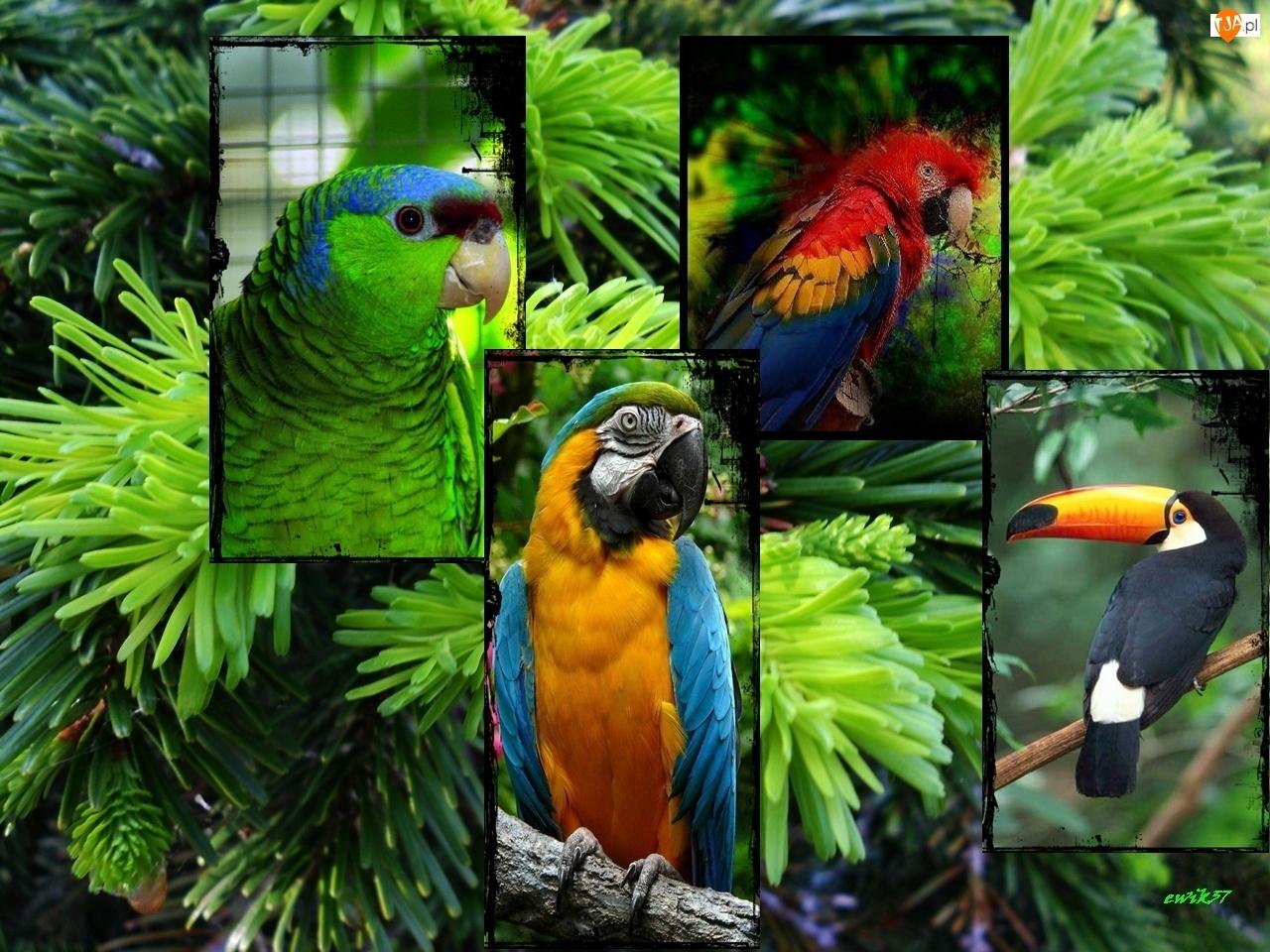 Papugi, Grafika, Tukan, Świerk