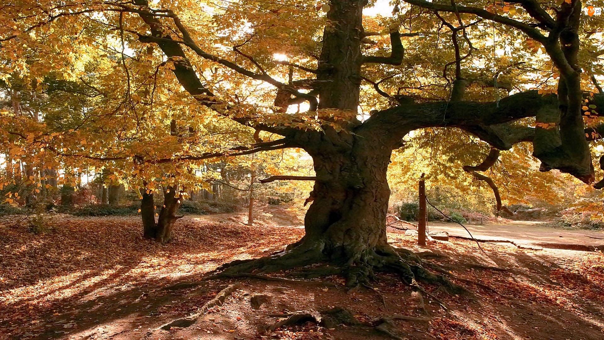 Jesień, Światło, Park, Przebijające