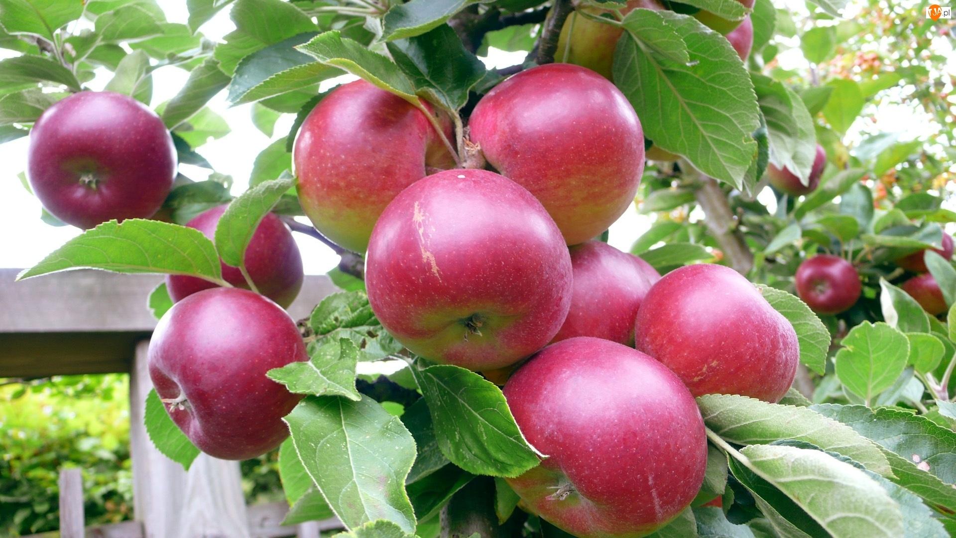 Liście, Czerwone, Jabłka