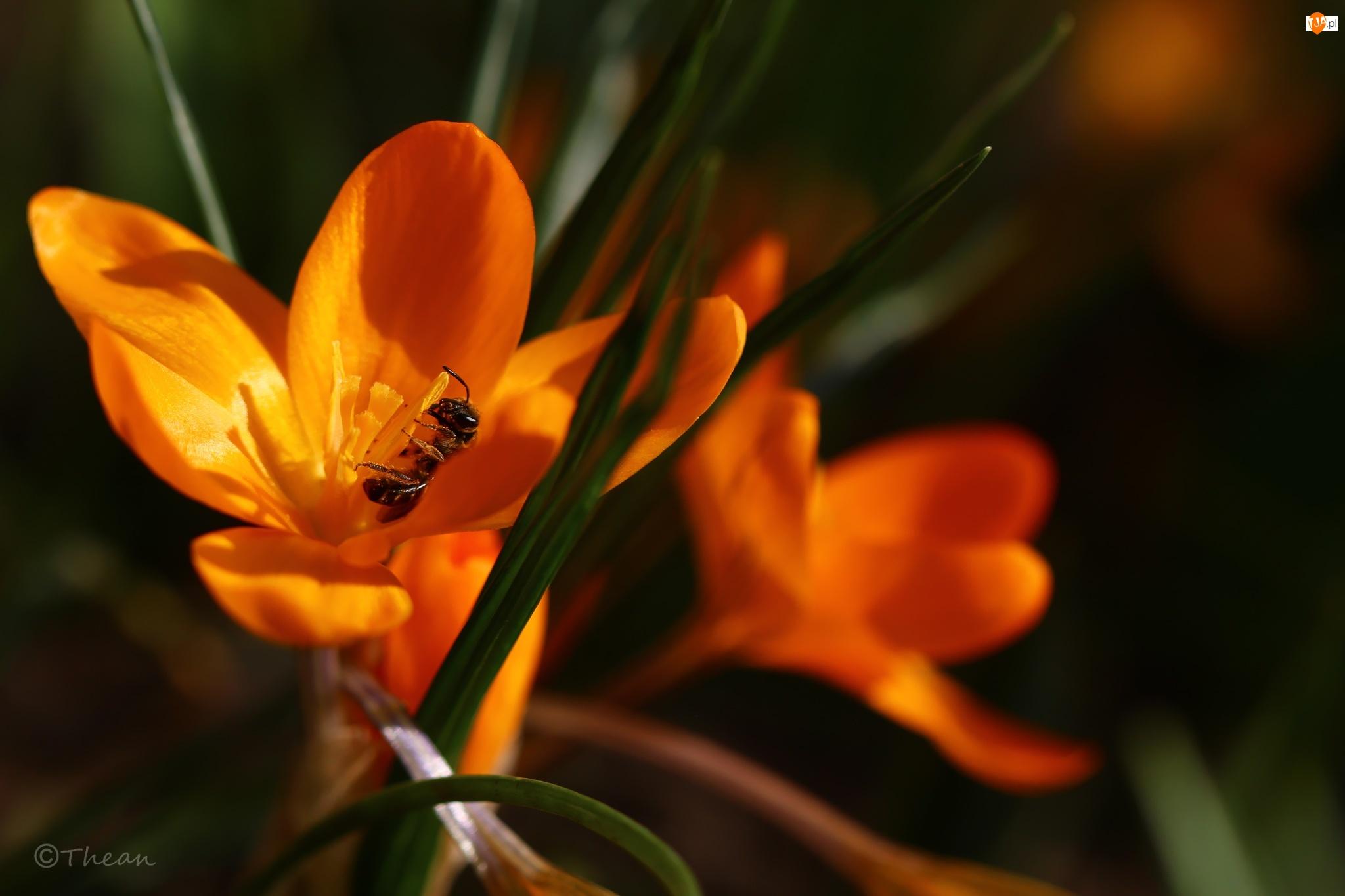 Wiosna, Osa, Krokus, Żółty, Kwiat