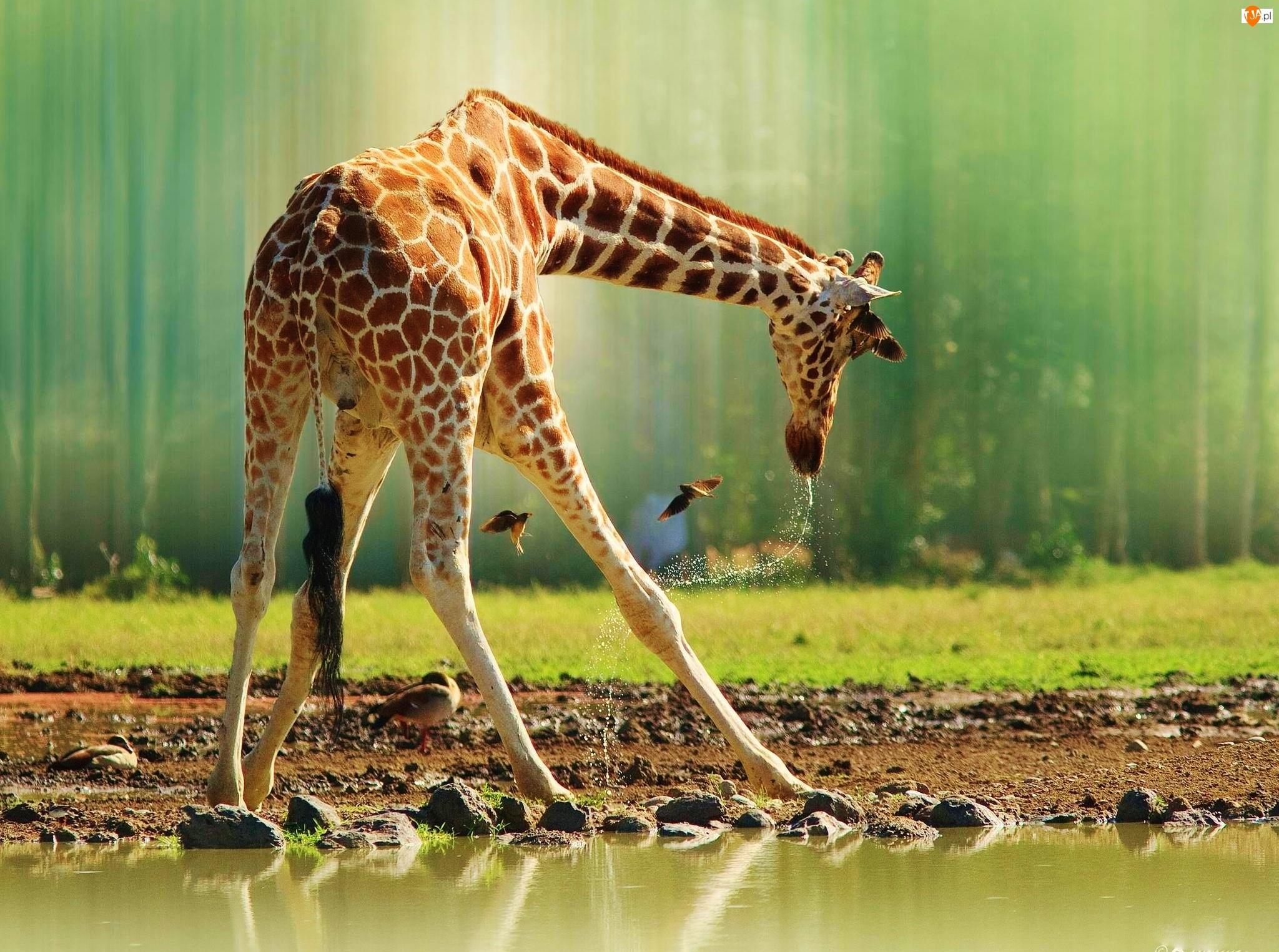 Котики картинки, картинка с жирафом в воде