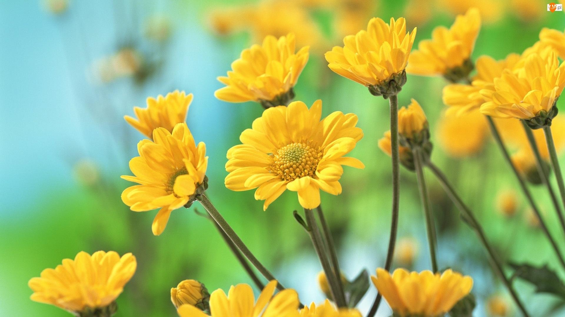 Żółte, Chryzantemy