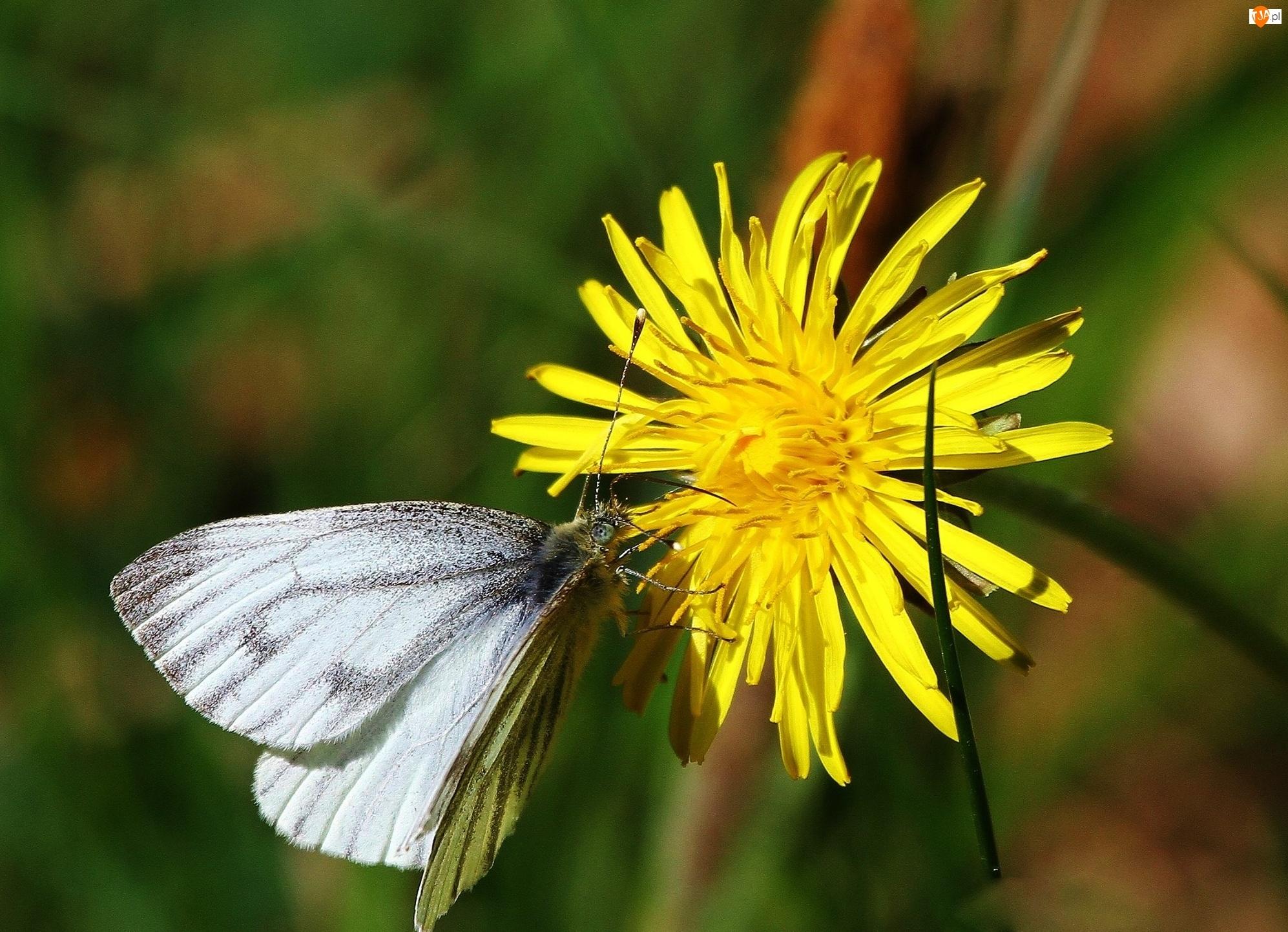 Biały, Mlecz, Motylek, Żółty