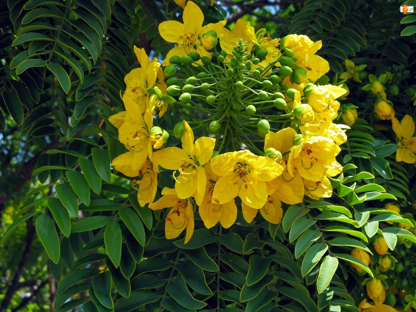 Cassia, Zbliżenie, Leptophylla, Kwiat