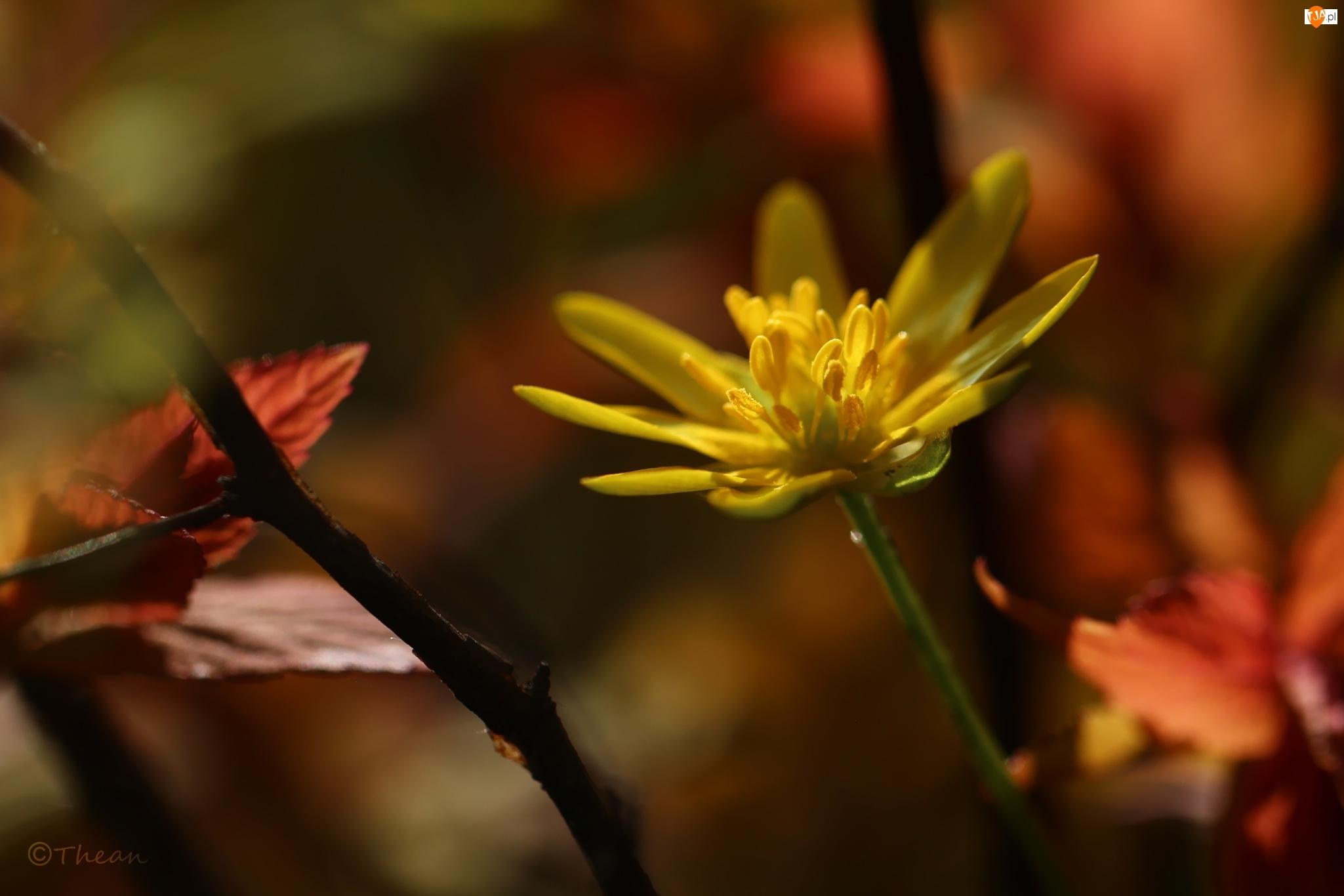 Kwiat, Ziarnopłon Wiosenny, Żółty