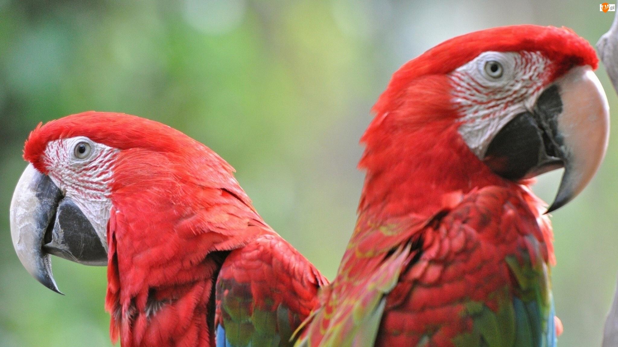 Dwie, Papugi