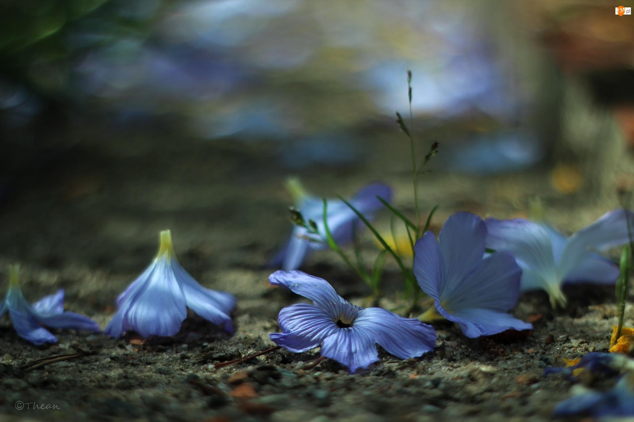 Kwiaty, Fioletowe, Dzwonki