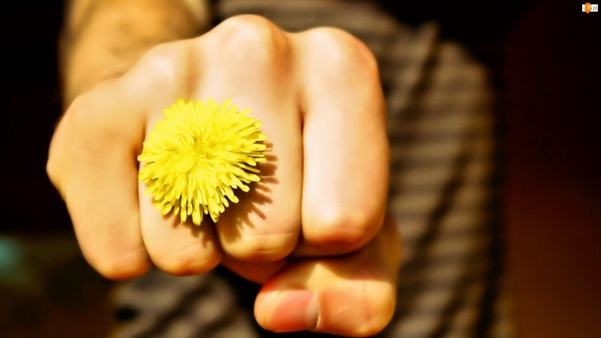 Pięść, Mlecz, Kwiatek, Mniszek