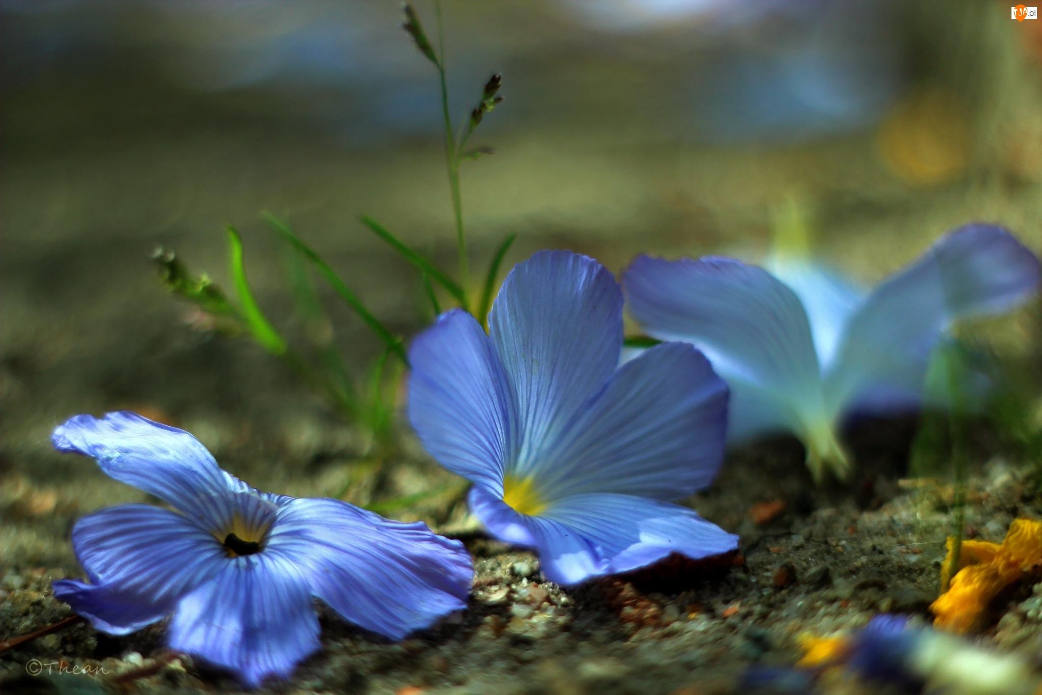 Fioletowe, Len włochaty, Kwiaty, Dzwonki