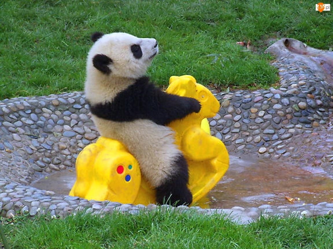 Konik, Panda, Bujany