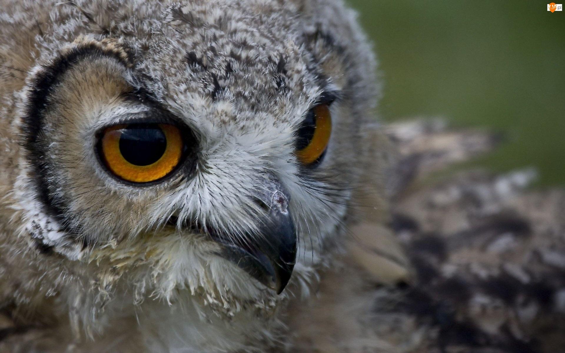 Oczy sowy