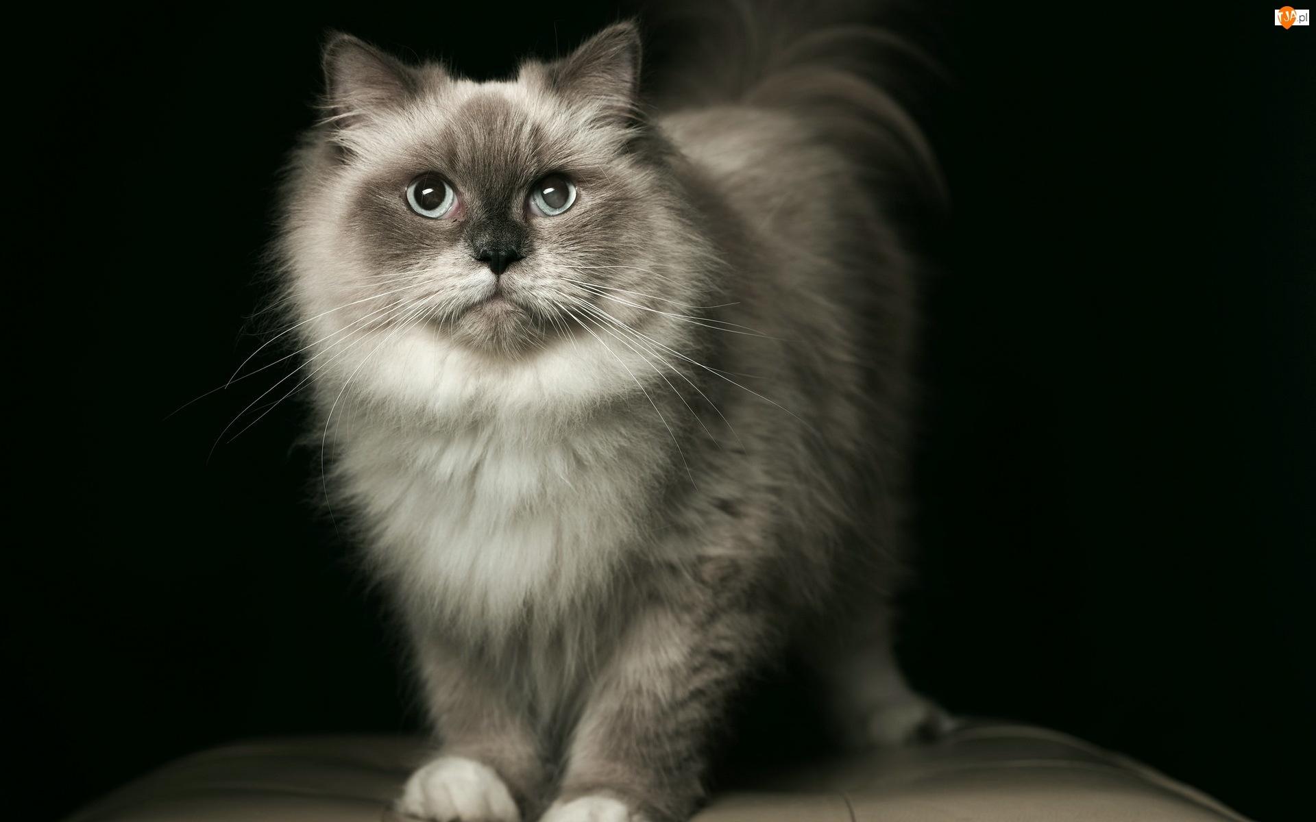Birmanski, Szary, Kot