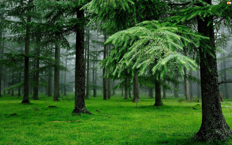 Mgła, Las, Modrzewie