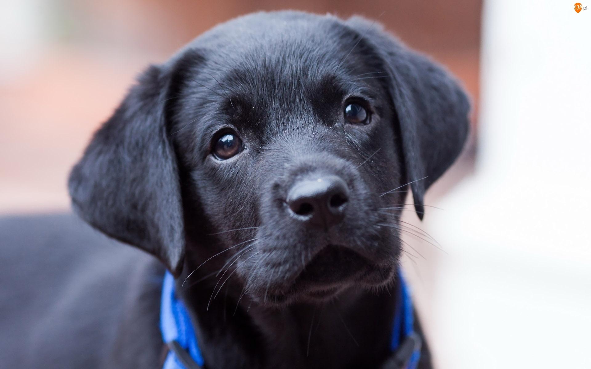 Szczeniak, Labrador retriever, Czarny