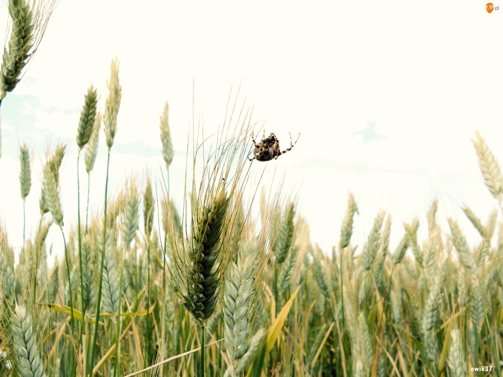 Kłosy, Odnóże, Zbóż, Pająk