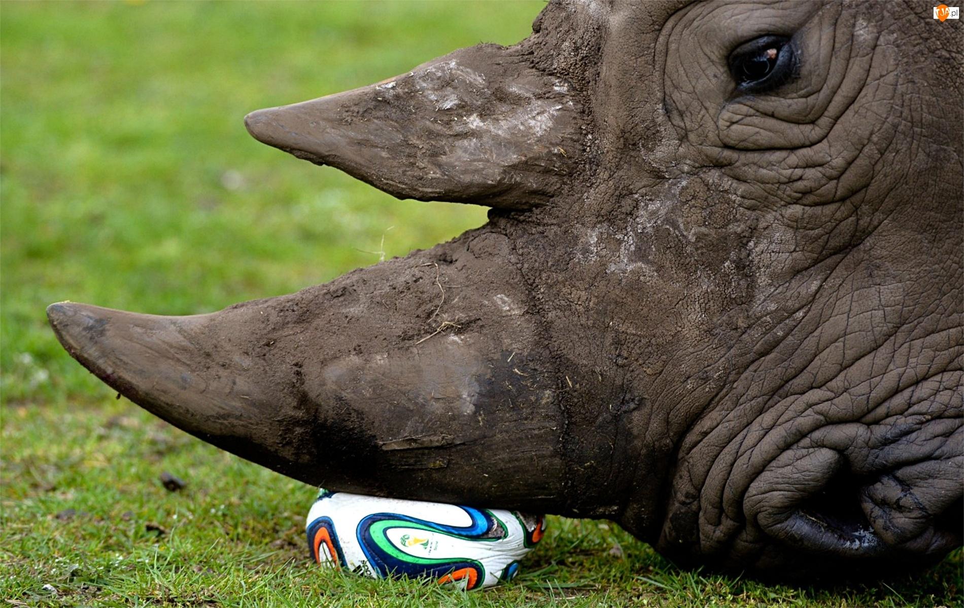 Nosorożec, Piłka