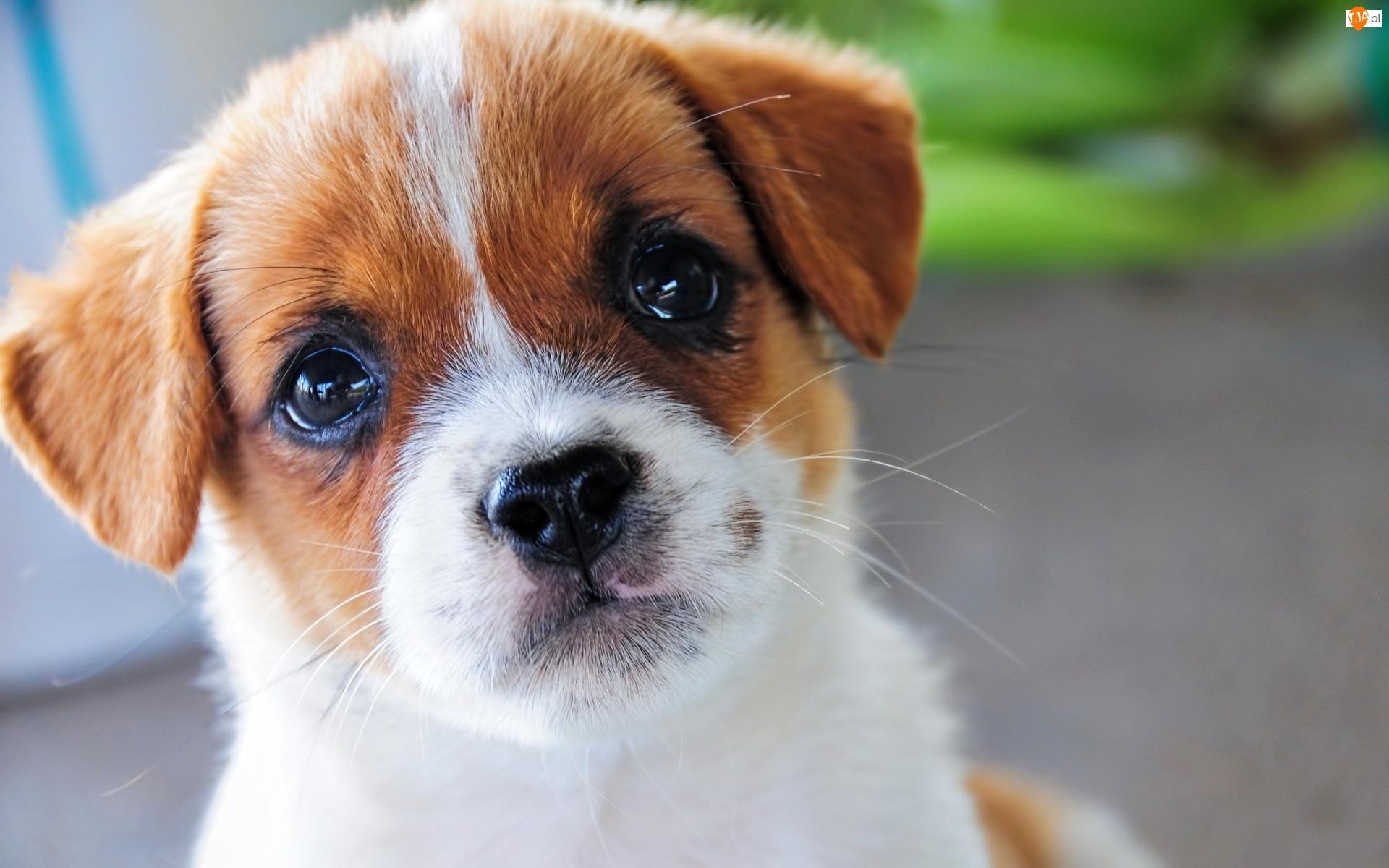 Najnowsze Jack Russell terrier, Pies, Szczeniak NM86