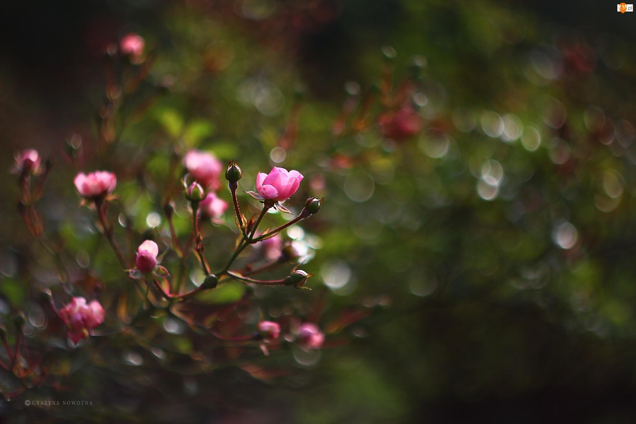 Kwiaty, Róże, Różowe